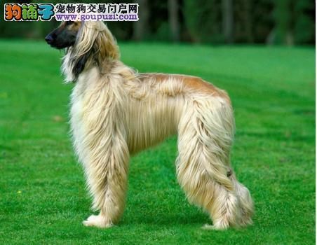 阿富汗猎犬西安最大的正规犬舍完美售后保证冠军级血统