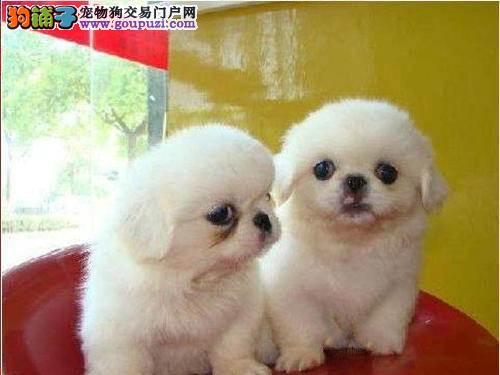 权威机构认证犬舍 专业培育京巴幼犬下单有礼全国包邮