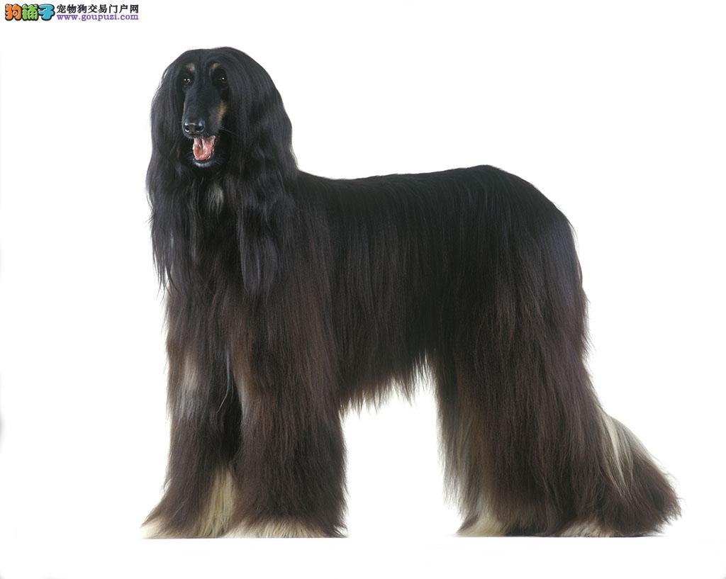 顶级优秀的纯种阿富汗猎犬济南热卖中真实照片包纯