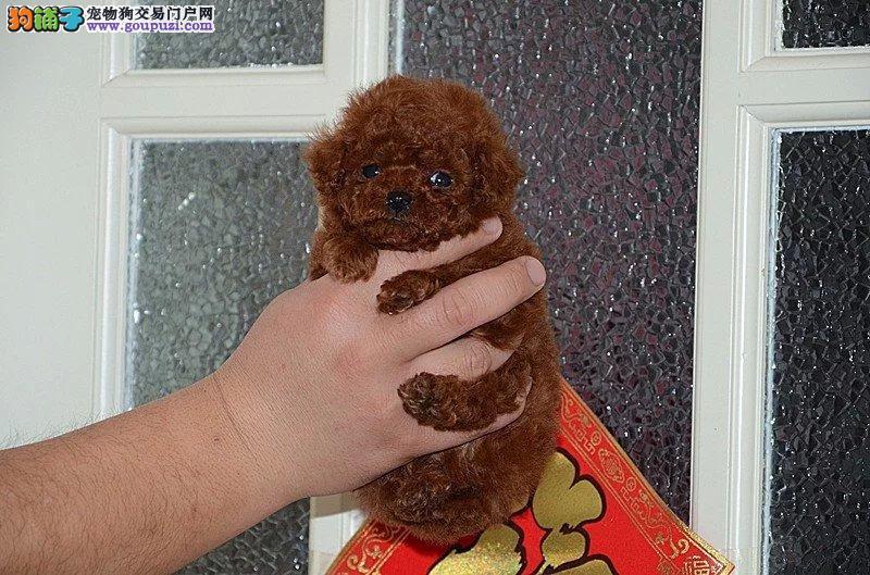 出售南昌茶杯犬专业缔造完美品质可刷卡可视频