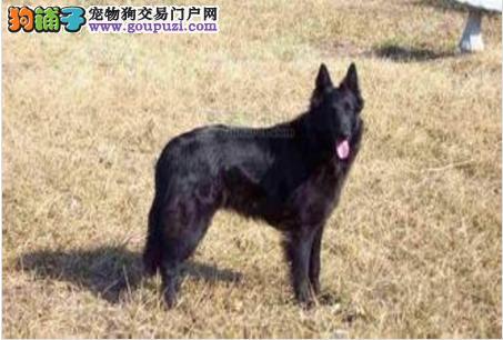 上海纯种高品质比利时牧羊犬高兴奋度易训练警犬军犬