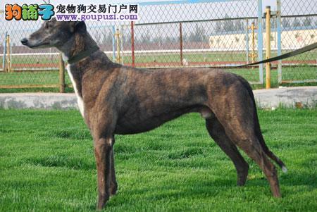 南昌精品高品质格力犬幼犬热卖中喜欢它的快来
