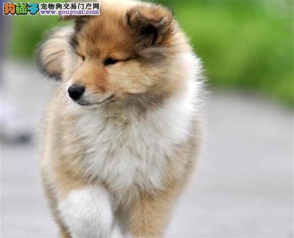 石家庄犬业出售纯种健康三色苏格兰牧羊犬幼犬