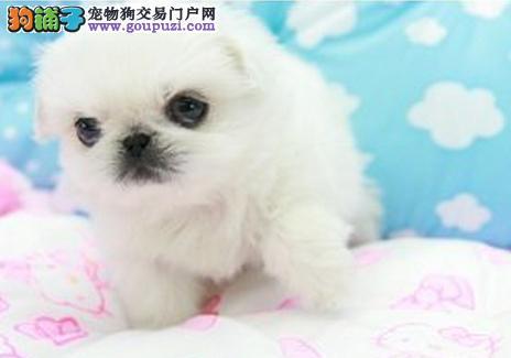 郑州CKU认证犬舍出售高品质京巴我们承诺终身免费售后