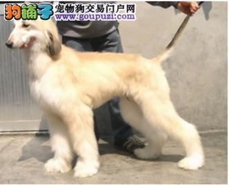 养殖场直销完美品相的阿富汗猎犬保证品质完美售后