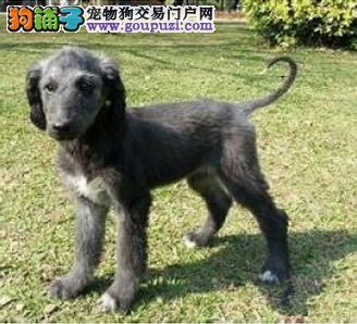 南京出售阿富汗猎犬颜色齐全公母都有终身完善售后服务