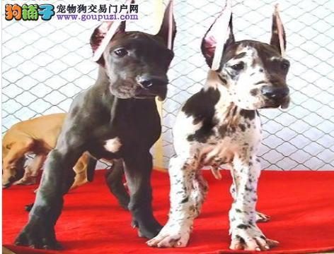 公母均有的大丹犬找爸爸妈妈全国十佳犬舍