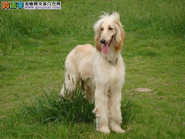 顶级优秀的纯种阿富汗猎犬热销中微信咨询看狗