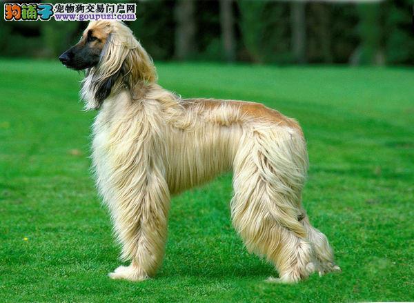 知名犬舍出售多只赛级阿富汗猎犬期待您的光临