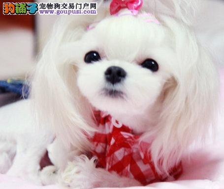 郑州CKU认证犬舍出售高品质马尔济斯郑州当地上门挑选