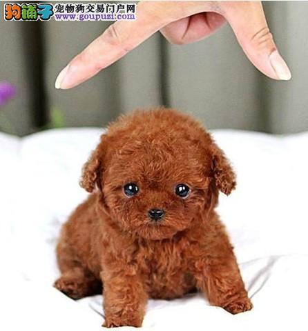预售精品韩国血系长沙泰迪犬 可办理血统证书保真