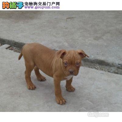 自家狗场繁殖直销比特犬幼犬微信选狗直接视频