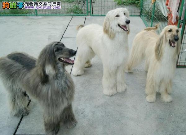 高品质的石家庄阿富汗猎犬找爸爸妈妈质量三包多窝可选