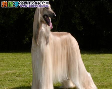 出售高端阿富汗猎犬,假一赔十纯度第一,专业信誉服务