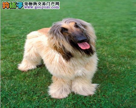 合肥本地出售高品质阿富汗猎犬宝宝可直接视频挑选