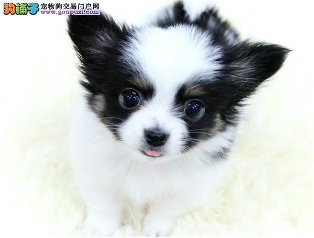 武汉哪里出售蝴蝶犬 武汉蝴蝶犬价格