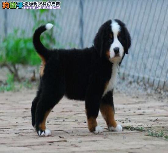 纯血统伯恩山幼犬,公母均有多只选择,可签保障协议