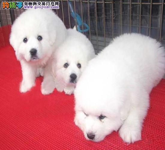大骨量纯白大白熊幼犬 签合同保纯种健康 可送狗上门