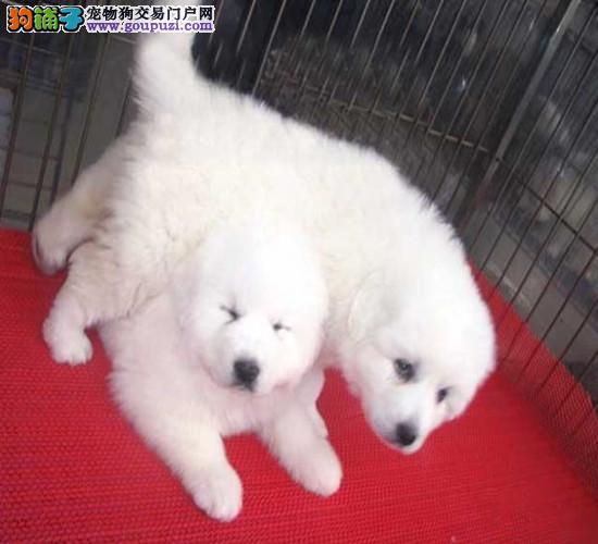 深圳哪里有卖大白熊 深圳大白熊价格
