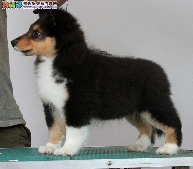 重庆哪里出售喜乐蒂犬 重庆喜乐蒂犬价格