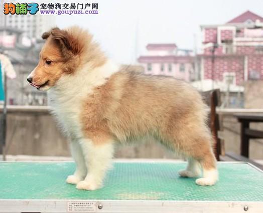 CKU犬业专业品质缔造优质喜乐蒂犬签定质保公母齐全