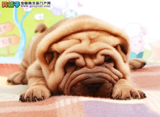 南京哪里有卖沙皮犬南京纯种沙皮怎么卖家养沙皮犬
