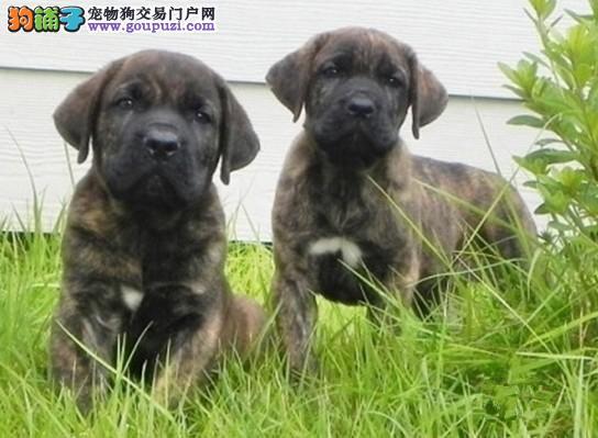 哈尔滨出售比特犬幼犬品质好有保障CKU认证绝对信誉保障