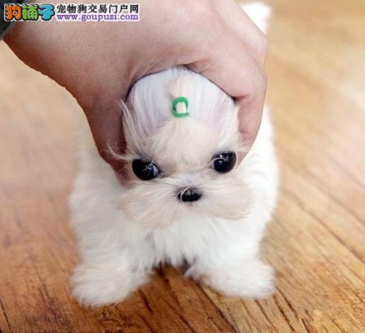 美丽迷人 马尔济斯 幼犬赛级品质