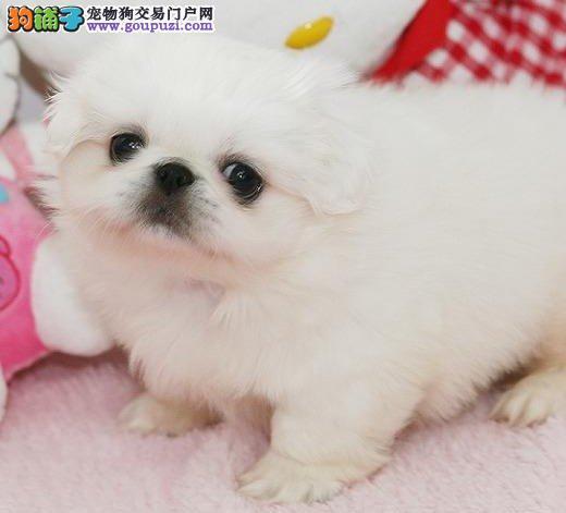南京纯种京巴犬多种颜色可选公母都有可看父母