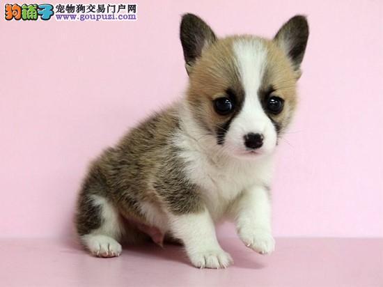 杭州纯种柯基幼犬出售 哪里出售柯基犬 多少钱一只