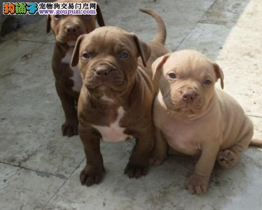 比特犬宝宝热销中 实物拍摄直接视频 签署合同质保
