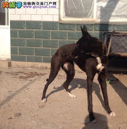 专业正规犬舍热卖优秀的郑州格力犬带血统证书签活体协议
