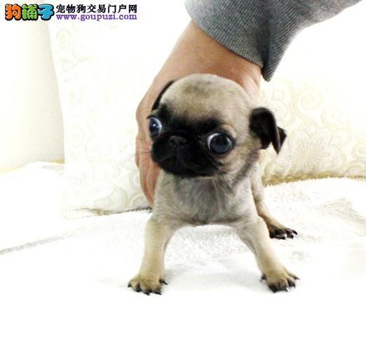 郑州热销巴哥犬颜色齐全可见父母赛级品质血统保障