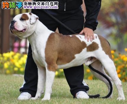 顶级优秀的纯种郑州美国斗牛犬热销中保障品质一流专业售后