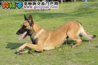国际注册犬舍 出售极品赛级马犬幼犬签订合法售后协议