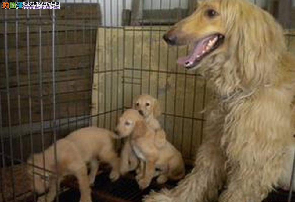 公母均有的阿富汗猎犬找爸爸妈妈质量三包完美售后