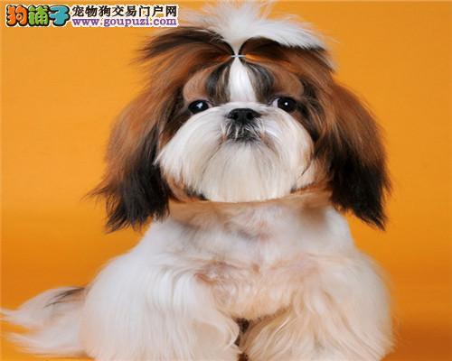 腿上的玩具纯种西施犬,深圳国际认证犬场绝对品质保证