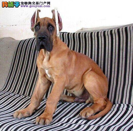 大丹犬西双版纳CKU认证犬舍自繁自销品质优良诚信为本