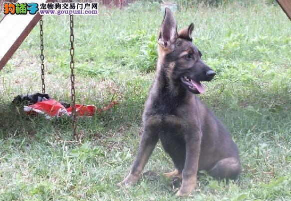 济南知名犬舍出售多只赛级昆明犬微信咨询视频看狗