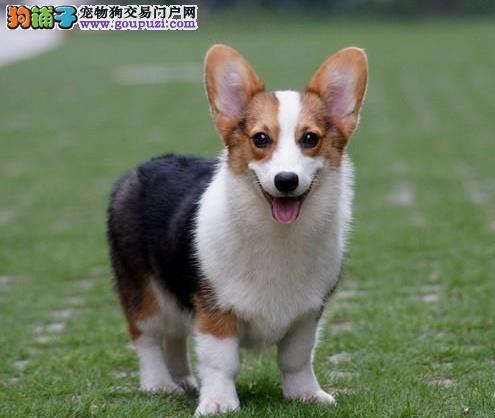 济南 纯种柯基幼犬宝宝 直销出售 保纯种 保健康包售后