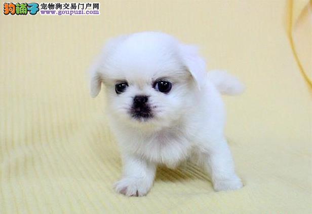 狗场繁殖小短腿京巴犬幼犬狗白色大眼睛公母多只