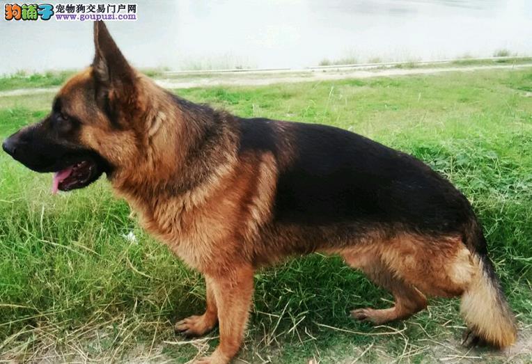 热销多只优秀的纯种杭州昆明犬金牌店铺有保障
