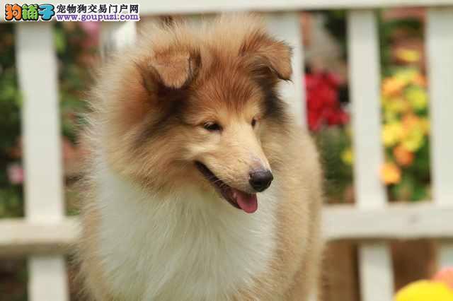 郑州犬舍低价热销 苏牧血统纯正购犬可签协议