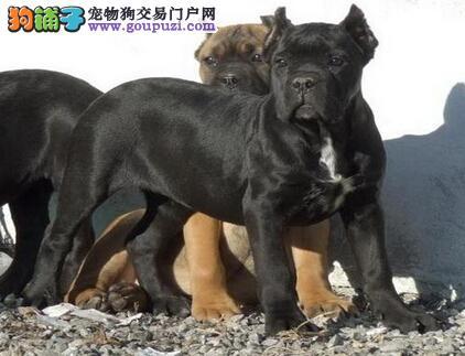 出售卡斯罗幼犬,品相好,疫苗驱虫已做,可上门挑选