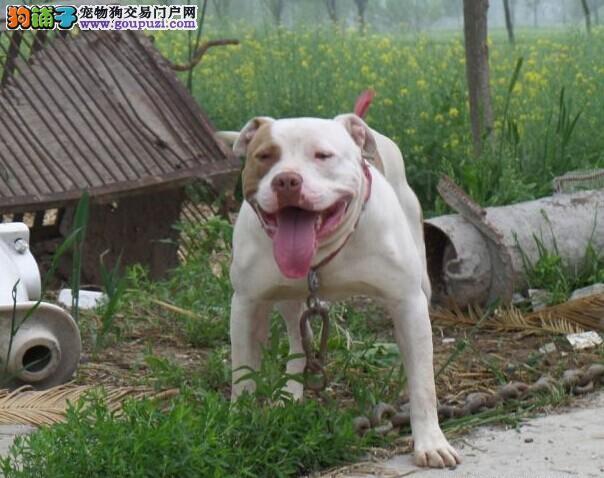 CKU犬舍认证出售高品质济南比特犬全国空运发货