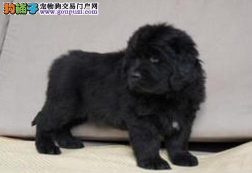 上海家养纯种纽芬兰犬 忍痛转让 喜欢的有爱心的联系我