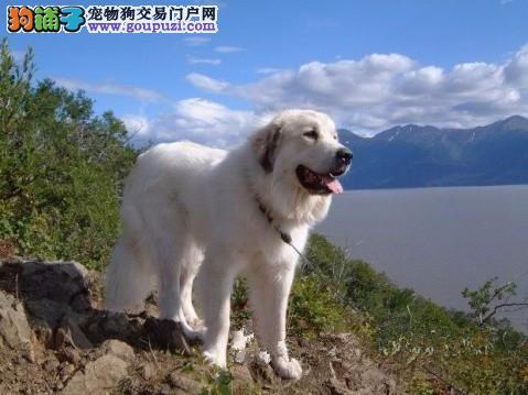 性情温和的狗狗——大白熊