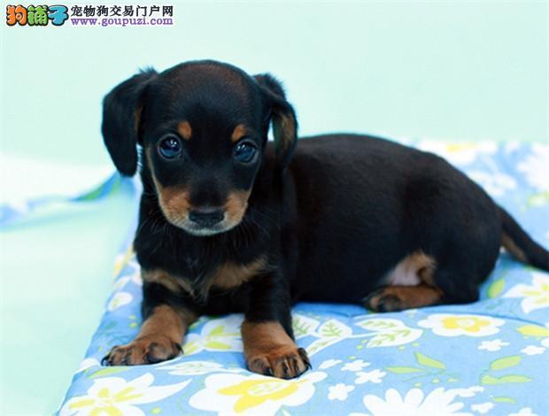 纯种腊肠幼犬出售 品质健康保证 实体店选