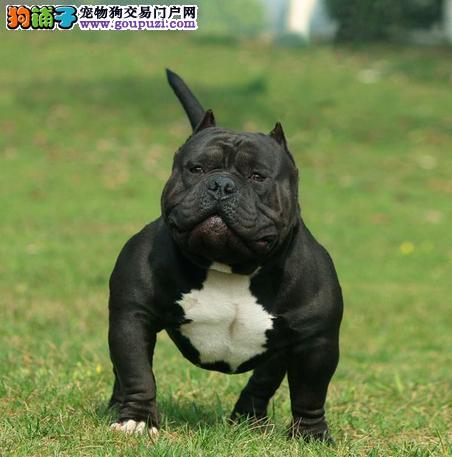 火爆出售血统纯正的三亚美国恶霸犬签订协议终身质保