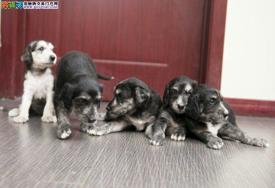 极品阿富汗猎犬幼犬,假一赔十价位最低,签订活体协议